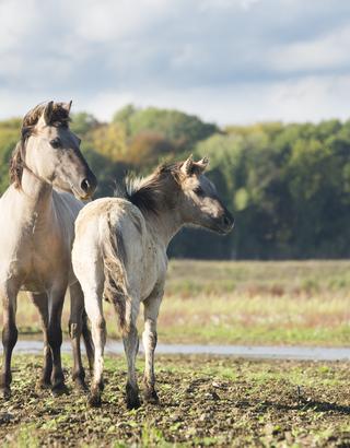 Konikpaarden bij Borgharen. Foto: Bob Luijks
