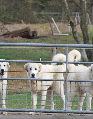 Jonge kuddewaakhonden