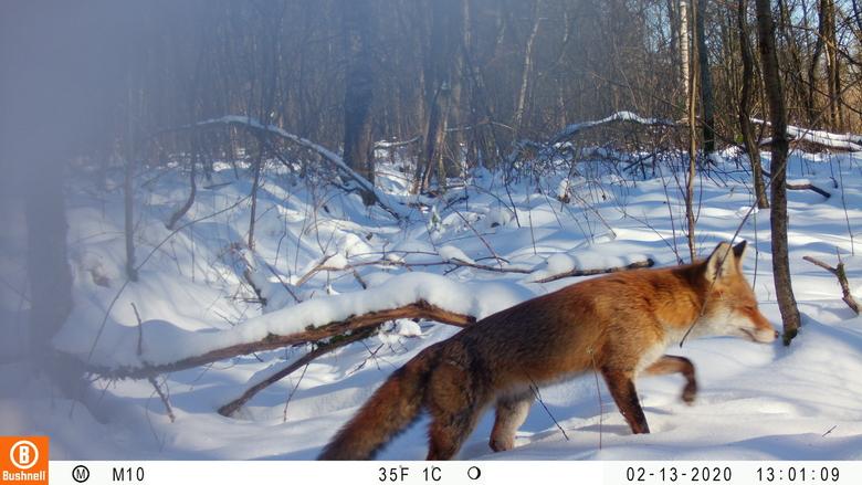 Naast grazers laten ook andere soorten, zoals deze vos, zich regelmatig fotograferen. Foto: Esther Speelman