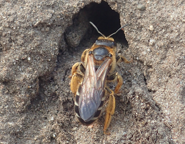 Jonge vrouw vierbandgroefbij bij nesttunnel in stierenkuil
