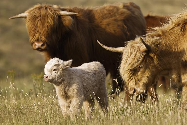 Schotse hooglanders met kalf (niet van dit jaar). Foto: Ruud Maaskant