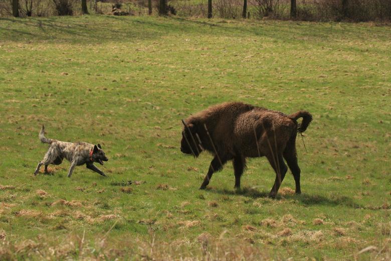 Herdershond 'speelt' met wisent. Voor de hond een spel, voor de grote grazer meestal niet