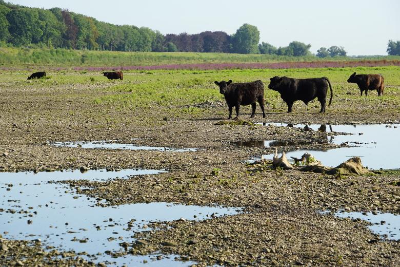 Gallowayrunderen bij de Grensmaas. Foto: Twan Teunissen