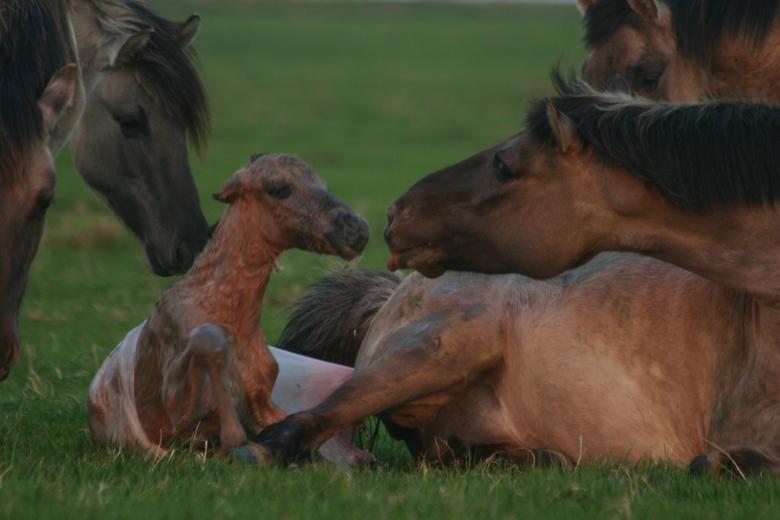 Geboorte van een konikveulen