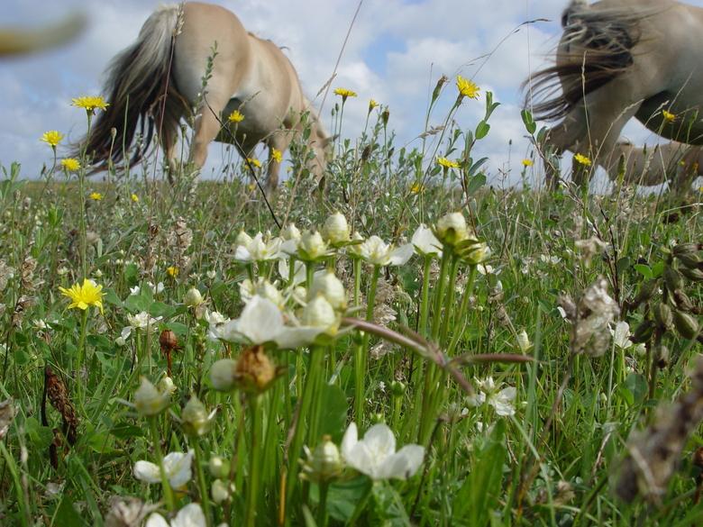 Konikpaarden aan de graas