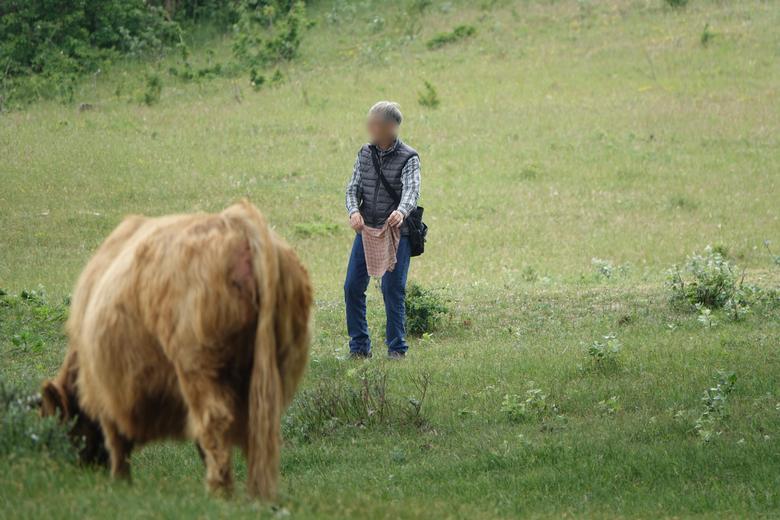 Man daagt Schotse hooglander uit met een doek. Wie is er sneller als de koe op de foto ingaat op de uitdaging?
