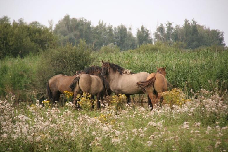 Konikpaarden; nauw verwant aan het oorspronkelijke Noord-Europese wilde paard, de tarpan.