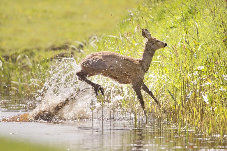 Een ree maakt zich uit de voeten. Foto: Marcel van Kammen, Nature in Stock