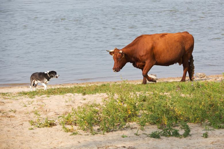 Een rode geus houdt een hond op afstand aan de Waal bij Nijmegen.