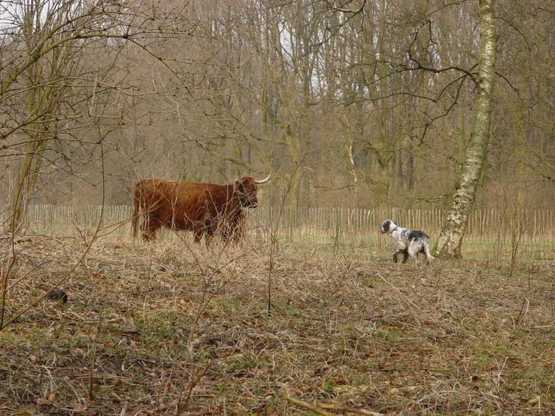 Schotse hooglanderkoe met kalf wordt geconfronteerd met een hond die wil spelen. De koe is hier echter niet van gediend en is vooral bezorgd om haar kalf