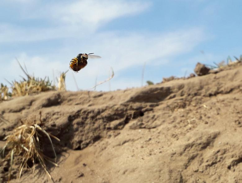 Vliegende bijenwolf met prooi