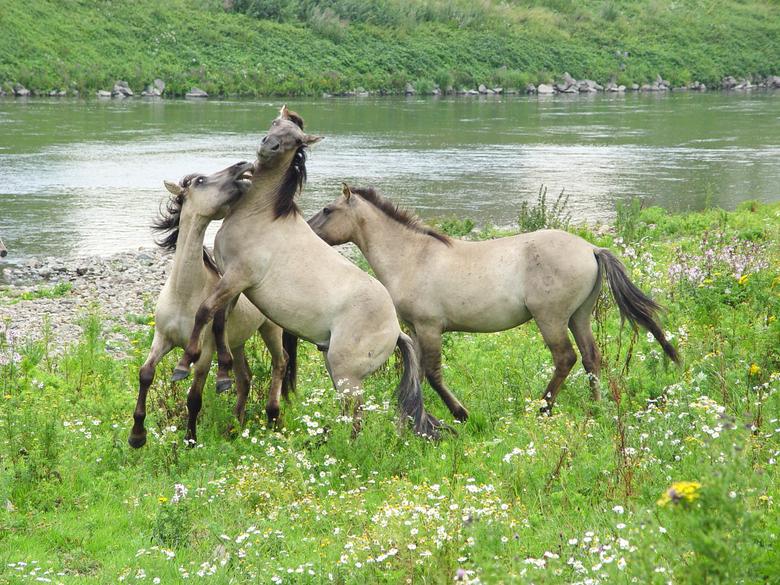 Stoeiende hengstengroep konikpaarden