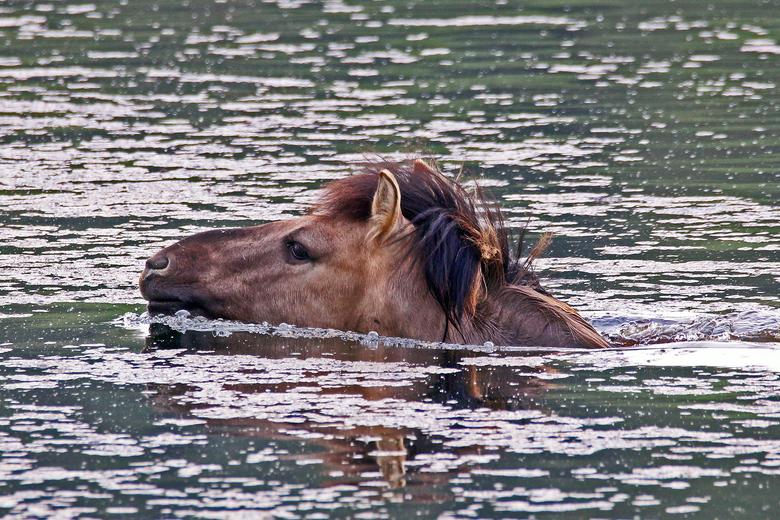 Zwemmende konikhengst. Foto: Jo Smeets