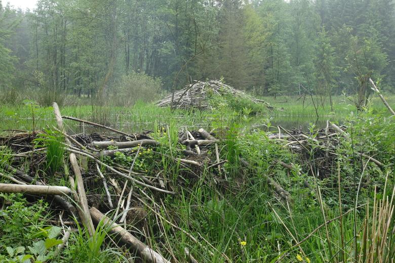 Beverdam en -burcht in een beekdal in de Belgische Ardennen