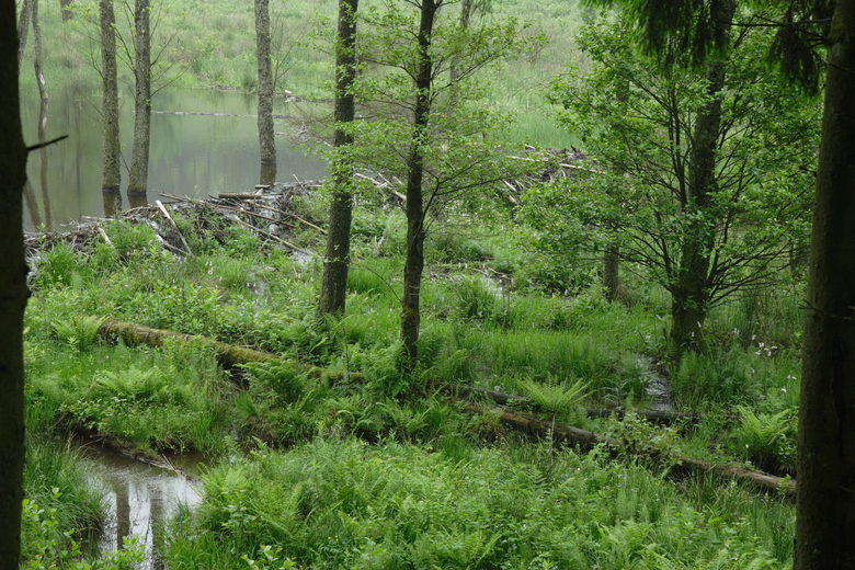 Op de voorgrond een moeras dat ontstaat nadat een beverfamilie zijn dam en burcht heeft verhuisd. Het meer loopt leeg en raakt begroeid met tal van moerasplanten. De restanten van de dam remmen de afwatering, wat moerasvorming stimuleert.