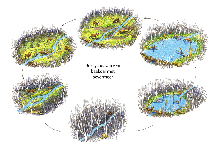 De natuurlijke cyclus van een bevermeer