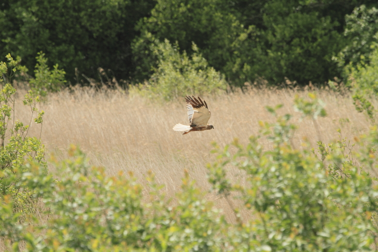 Bruine kiekendief, jagend boven het riet. Foto: Leo Linnartz