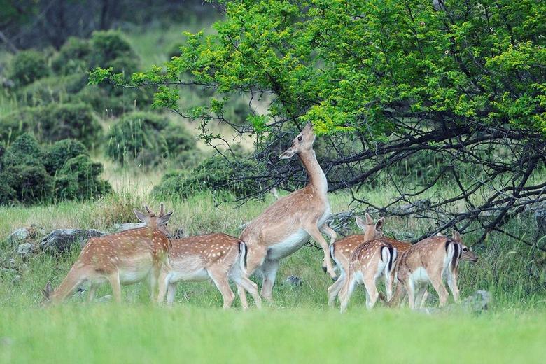 Damherten in de Rhodopen Foto Staffan Widstrand/Rewilding Europe