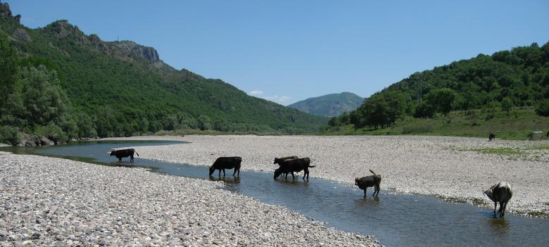 Rhodope korthoonrunderen in de rivier de Arda