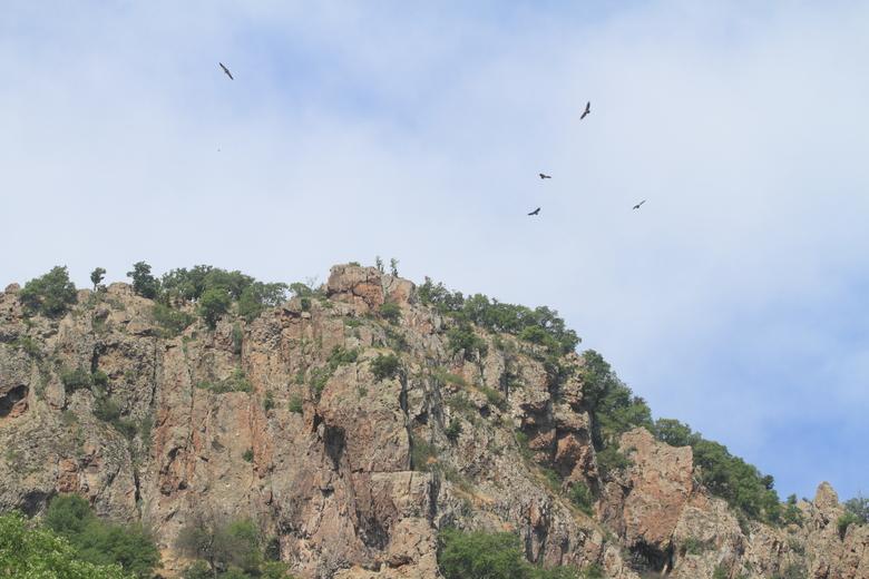 Vale gieren in de Oostelijke Rhodopen, Bulgarije