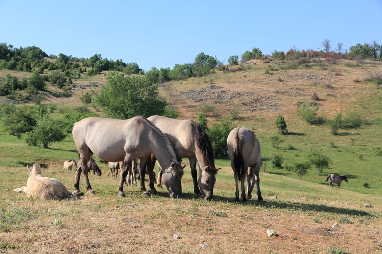 Koniks in de Bulgaarse Rhodopen