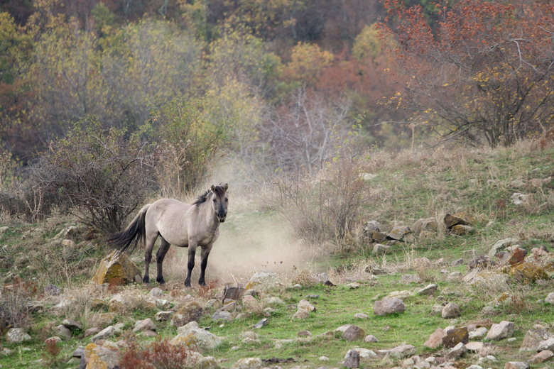 Konikpaard in de Bulgaarse Rhodopen. Foto: Ivo Danchev
