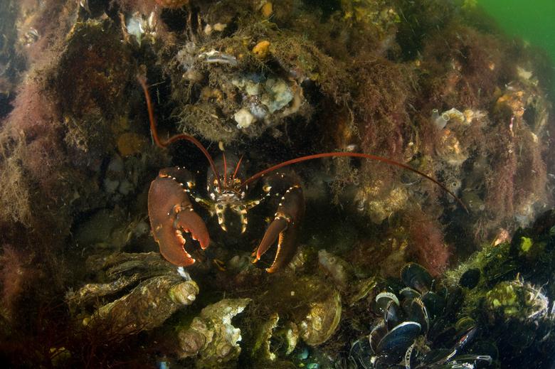 Kreeft op schelpdierbank, foto Cor Kuyvenhoven