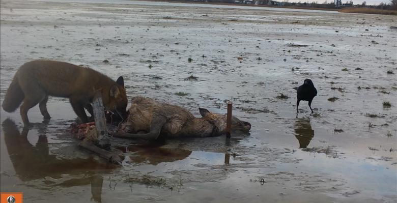 Een vos en een zwarte kraai bij een kadaver in het Markiezaat