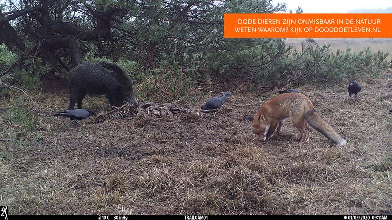 Aasetende raven en wild zwijn. De vos houdt afstand.
