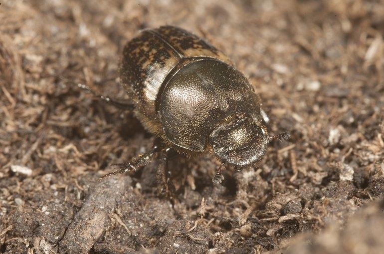 De zeldzame mestkever die in het Markiezaat gevonden werd. Foto: Roy Kleukers, EIS Kenniscentrum Insecten