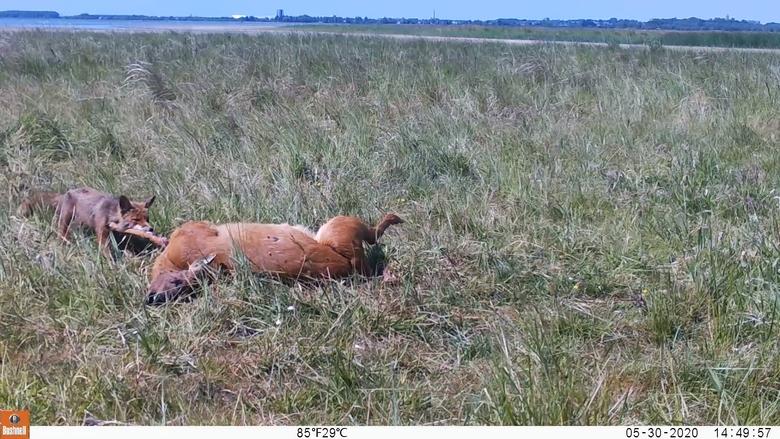 Een vos laat zich voor de wildcamera bij een kadaver zien