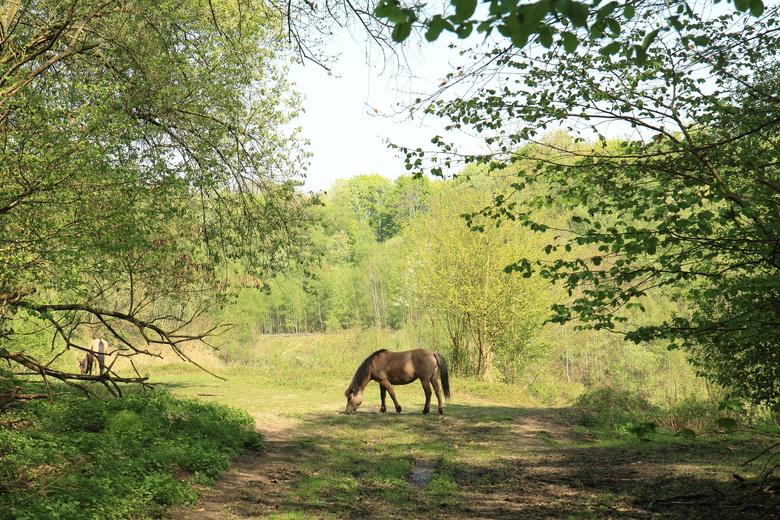 Konikpaard in natuurgebied Ingendael