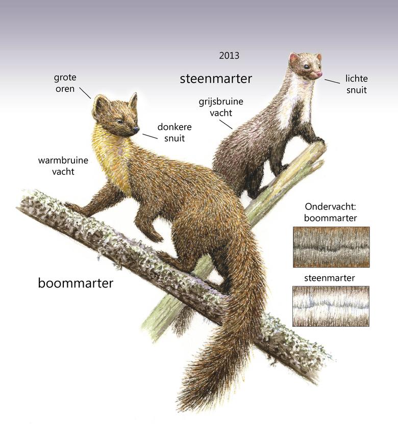 Verschil boommarter en steenmarter
