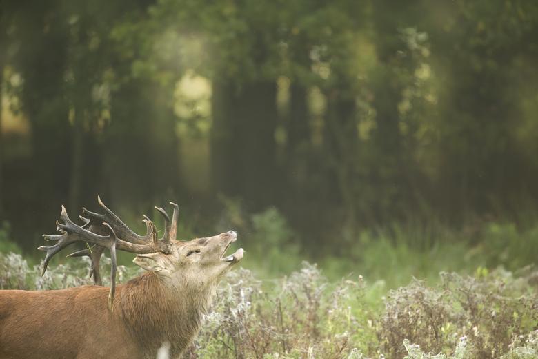 Edelhert in het Weerterbos