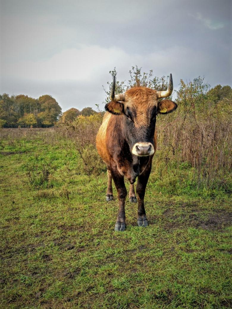 Een van de taurossen in Herperduin (Foto Jetske van den Berg)