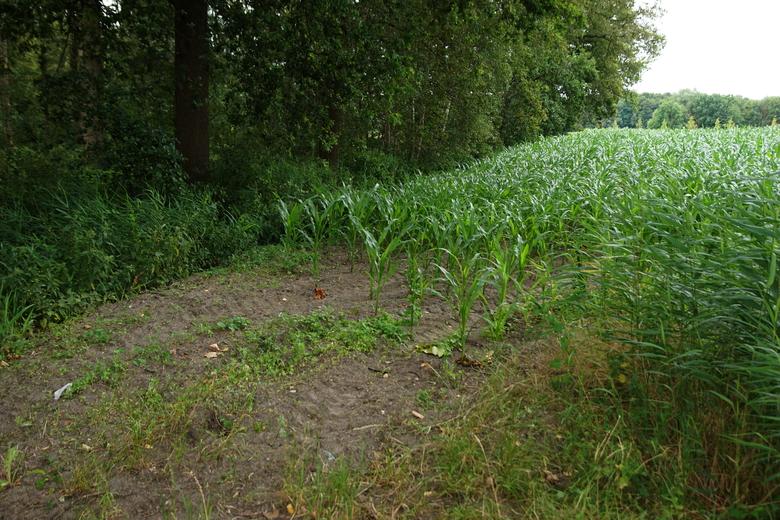 Dit maisland aansluitend op het bos van De Geelders gaat veranderen in natuur (Foto: Bert Vervoort)