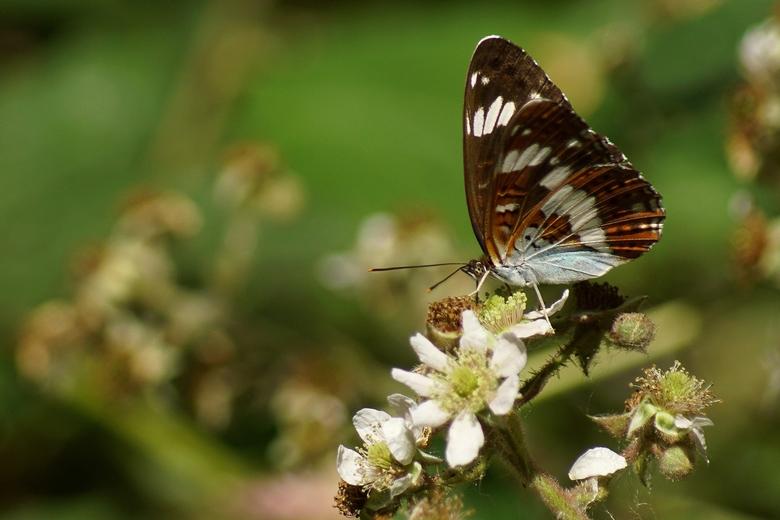 Kleine ijsvogelvlinder in De Geelders (Foto: Bert Vervoort)