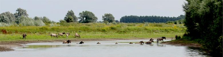 Konikpaarde, foto: Nick van den Broek