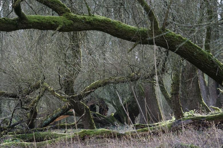 Oud ooibos in Millingerwaard