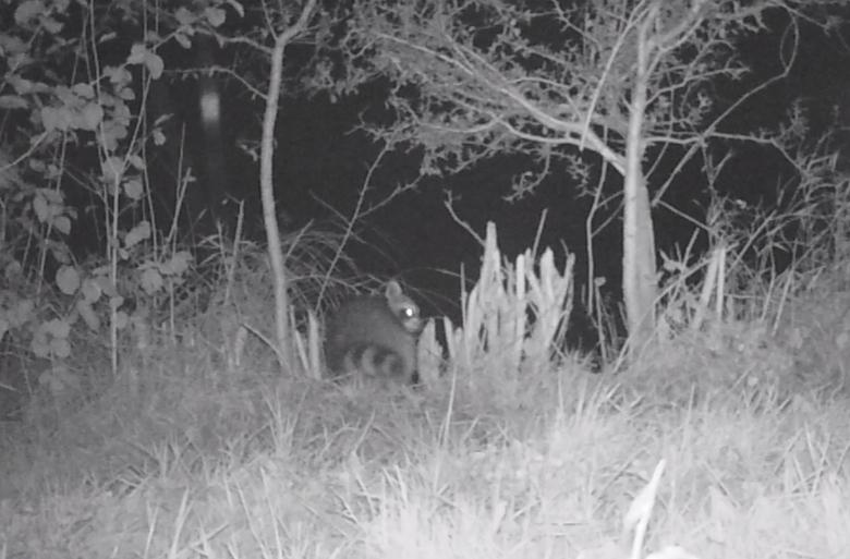 Wasbeer voor de cameraval