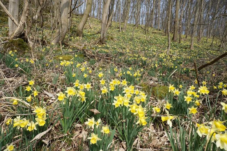 Wilde narcis in het Hohnbachtal