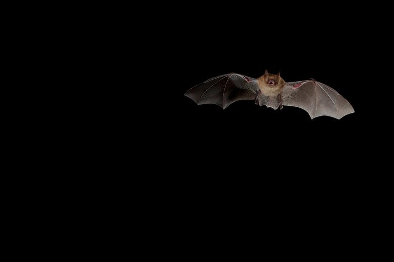 Ingekorven vleermuis, foto: Wikimedia C. Robiller / www.naturlichter.de