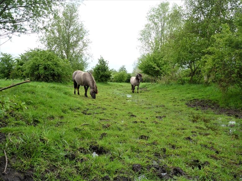 Grote grazers als konikpaarden zorgen ervoor dat natuurgebieden niet dichtgroeien (Foto: Esther Linnartz)
