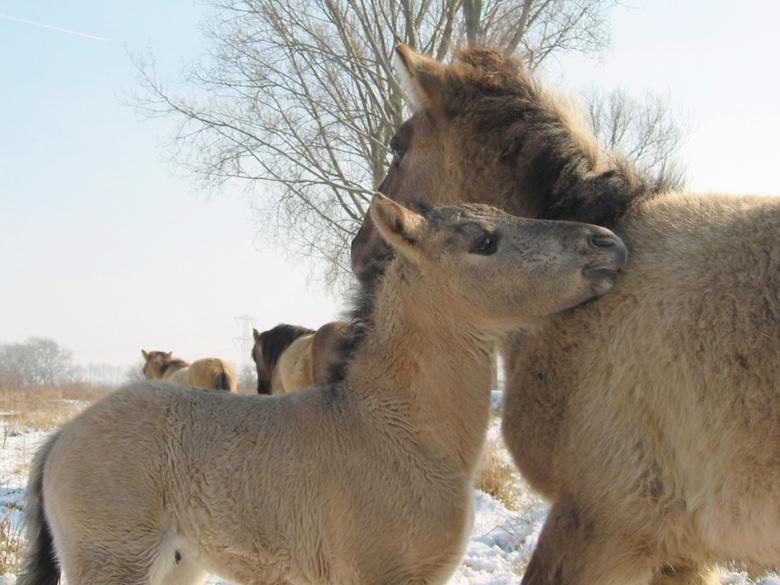 Konikpaarden redden zich prima in de winter (foto: René Deneer)