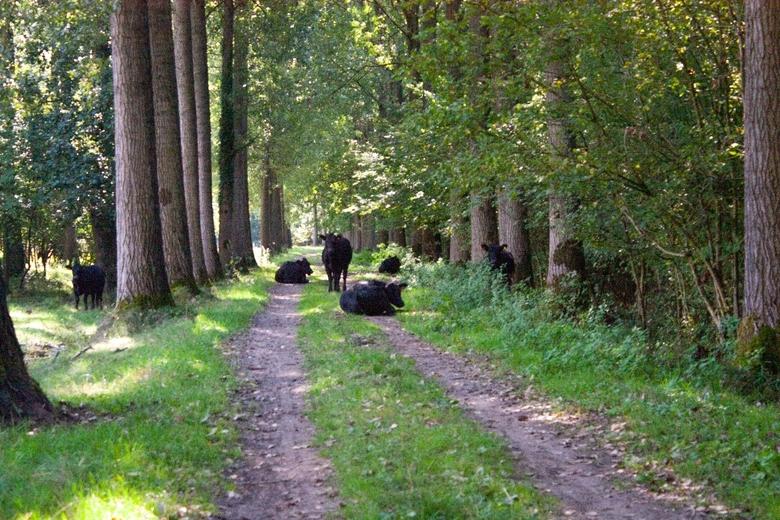 Angus cows in Het Groene Woud