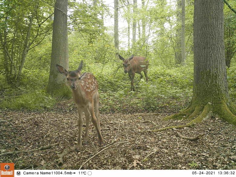 Hinde met kalf laten zich zien voor de wildcamera in Het Groene Woud