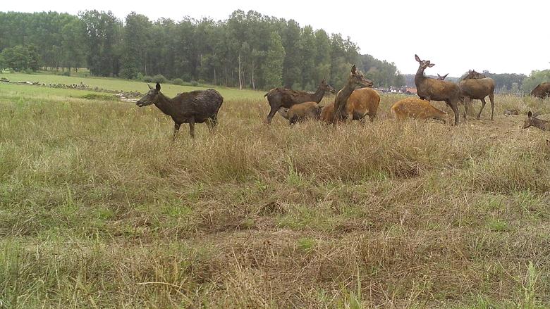 Edelherthindes en hun kalfjes op de natuurbrug over het spoor
