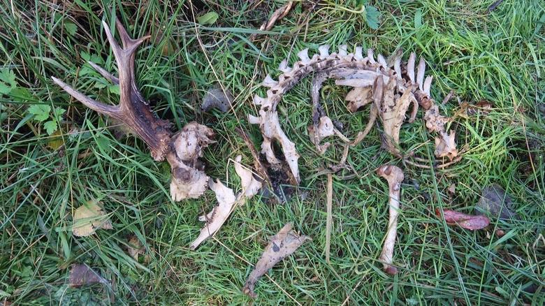 Skelet van een ree. Foto: Margreet van Ruremonde