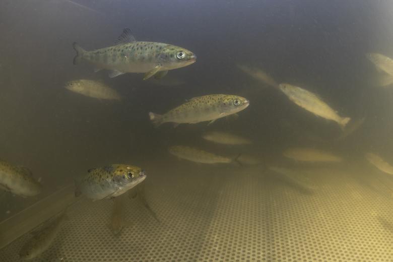 De zalm is één van de trekvissen waar GBRA onderzoek naar doet. Foto: Arthur de Bruin, Blikonderwater