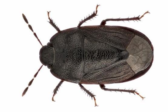 De graafwants Ochetostethus nanus (Bron: Theodoor Heijerman)